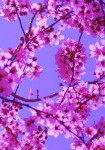 256px-Free_Colorful_Spring_Blossoms_in_Pink_on_Blue_Sky